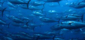 Visuel le naturel du poisson sauvage SAPMER
