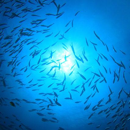 SAPMER - Banc de poisson